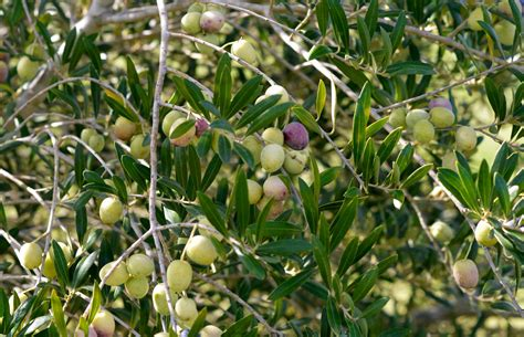 olive trees faqs about olives and olive trees oaks orchard