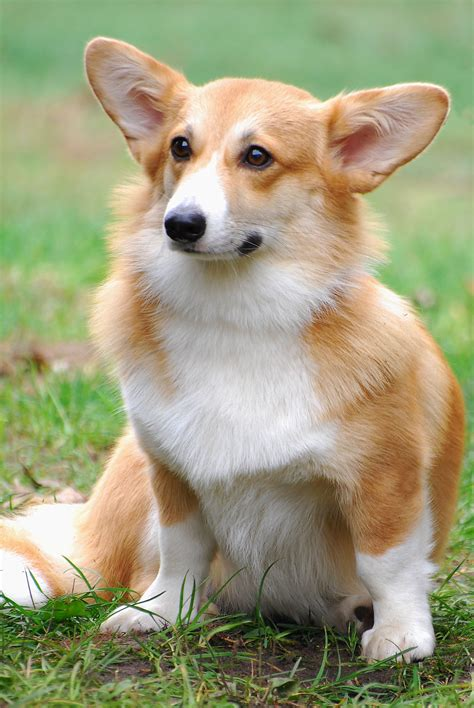 corgi puppy pembroke corgis info facts temperament puppies pictures