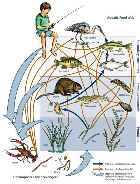 Aquatic Food Web Diagram