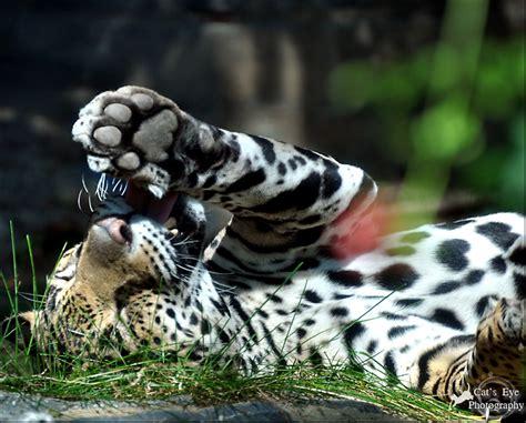 jaguar animal paw