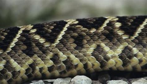 black and white diamond pattern snake snakes that are brown with markings like diamonds