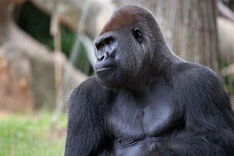 Western Lowland Gorilla - Zoo Atlanta