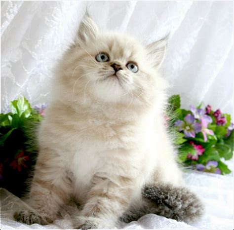 beautiful kittens when purchasing a cat or kitten from a breeder you