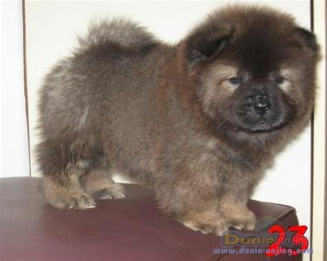 Jual Anakan Chow Chow Best Quality dunia anjing jual anjing chow chow jual anakan chowchow turunan import