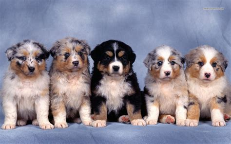 australian sheepdog puppy puppy dogs australian shepherd puppies