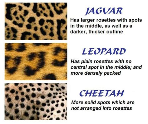 what s the difference between a jaguar and difference between leopard and jaguar big cats a
