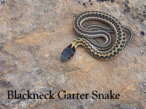 where to find snakes in your backyard photos