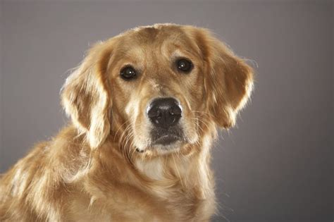 labrador retriever and golden retriever difference difference between golden retriever labrador retriever dogs cuteness