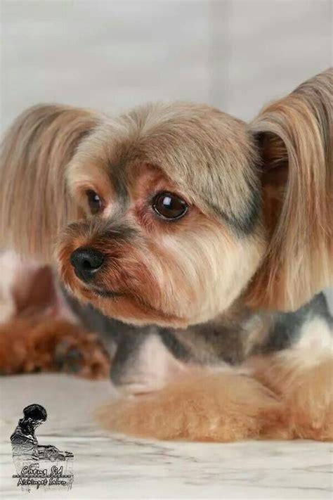 my yorkie keeps shaking 17 best yorkies with tails undocked yorkies images on grooming