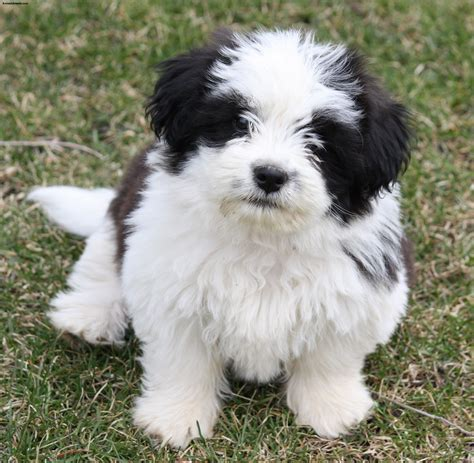characteristics of shih tzu shih tzu pictures puppies information temperament characteristics rescue