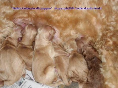 goldendoodle puppy ear infection goldendoodles for sale blue eyed goldendoodles available