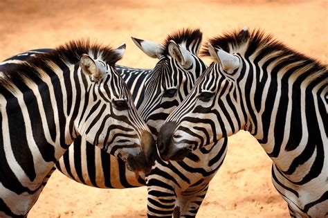 zebra wallpaper for walls zebra wallpapers images photos pictures backgrounds