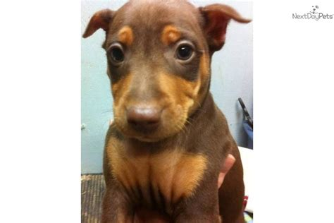 chocolate miniature pinscher puppies for sale miniature pinscher puppy for sale near jonesboro arkansas 9364fb0a c1f1