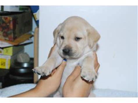 yellow lab puppies for sale in ma yellow lab puppies for sale in massachusetts