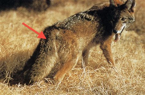 do coyotes eat dogs dogs that look like coyotes