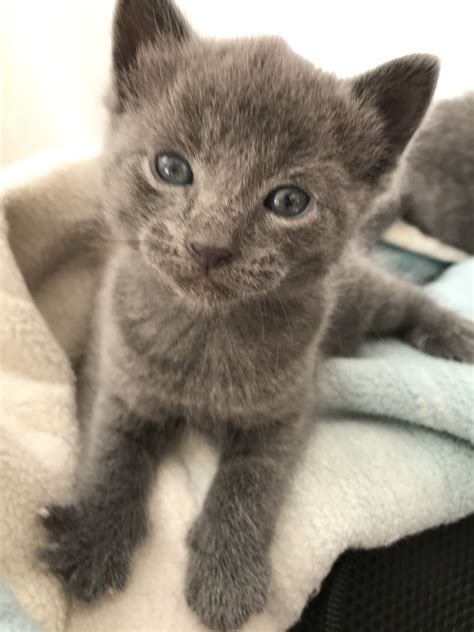 blue kittens for sale russian blue kittens for sale south east