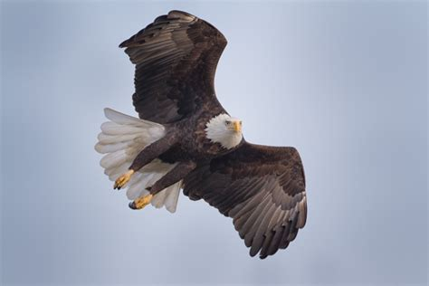 comfort eagle meaning a collection of bald eagles in flight martin belan