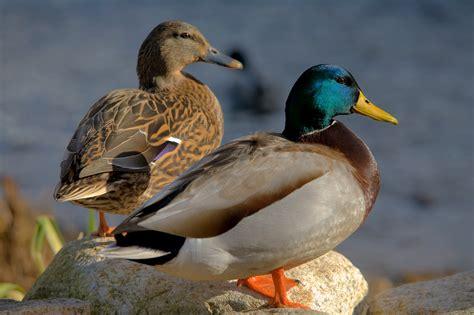 file ducks in plymouth massachusetts edit1 jpg wikipedia