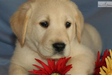 free puppies lafayette indiana yellow lab puppies labrador retriever puppy for sale near lafayette west lafayette