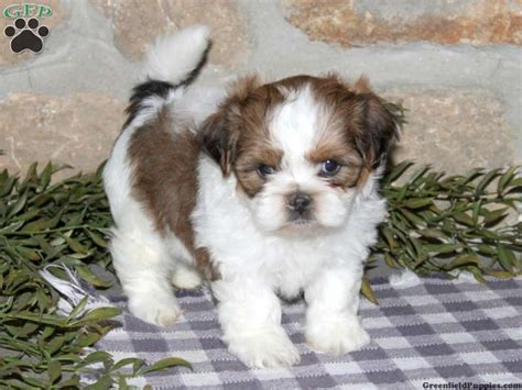 yorkie vs morkie 1000 ideas about shorkie puppies for sale on puppies for sale yorkie and