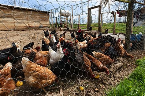 backyard poultry farming in india why keep backyard