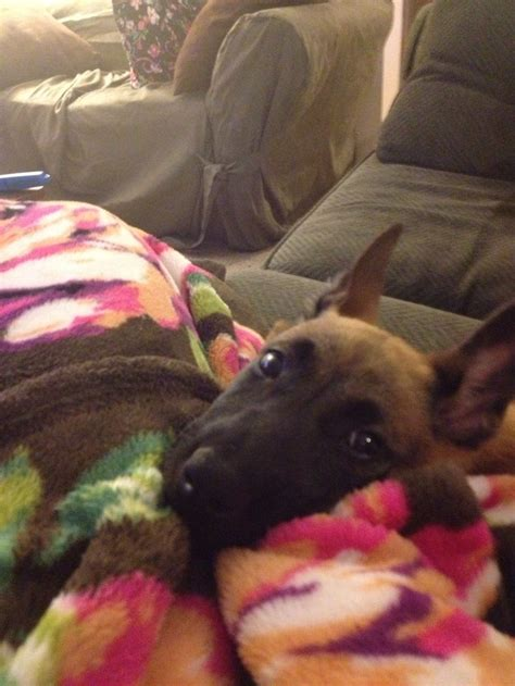 belgian malinois puppies florida 225 best images about malinois my on photographs belgian and