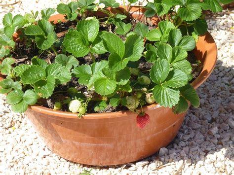 fragole in vaso coltivazione orto in vaso orto in balcone coltivare orto in vaso