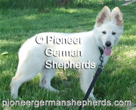 german shepherd puppies for sale in pennsylvania kennel white german shepherds of pioneer german shepherds