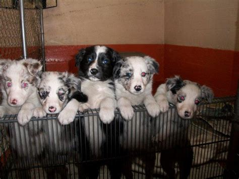 border collie puppies illinois 26 best images about border collie on