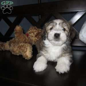 havanese puppies in nj havanese puppies for sale in pa md ny nj
