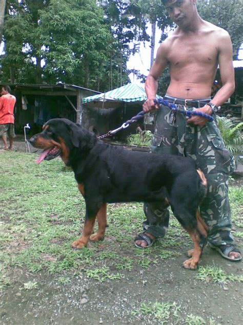 chion rottweiler puppies for sale big headed rottweiler