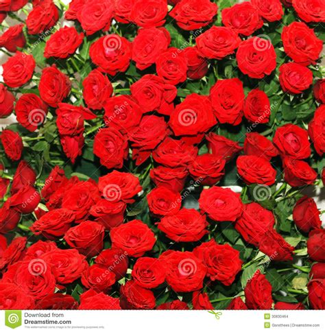 rose bed red rose bed stock images image 30830464