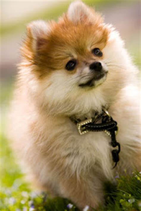 pomeranian clothing pomeranian pet clothing pomeranian t shirts and pomeranian 24 breeds picture
