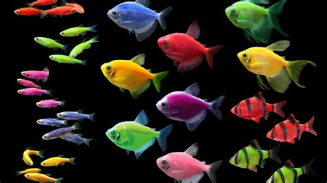 glofish colors glofish has sold the ip to make fish glow for 50m