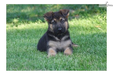 german shepherd puppies for free in pa german shepherd puppy for sale near pittsburgh pennsylvania fbc776ba 59f1