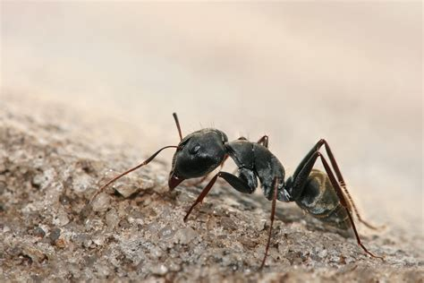 imagenes de hormigas negras file conotus sp ant jpg wikipedia