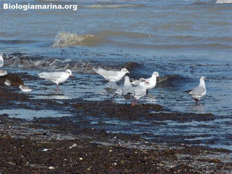 gabbiano comune gabbiano comune 32 biologia marina mediterraneo