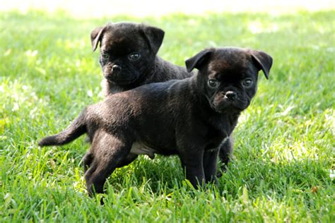pug breeders toronto bug boston terrier x pug puppies toronto dogs for