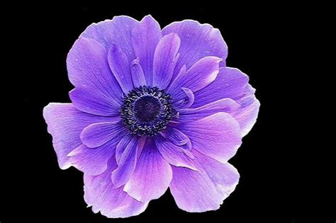 anemone flower meaning flowers and meanings anemone flower picture and meaning