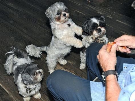 shih tzu temperament problems 17 best ideas about behavior on pet care care and care tips