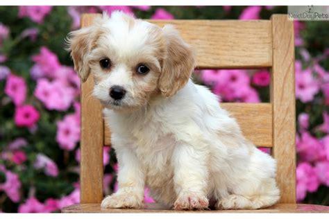 cavachon puppies for sale in pa cavachon white cavachon for sale in lancaster pa 4363447635