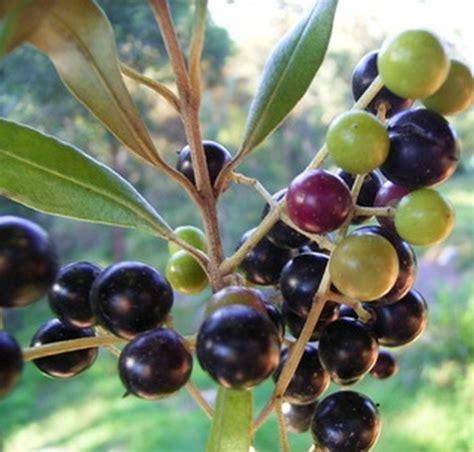 Minyak Zaitun Dari Israel benih zaitun olive tree