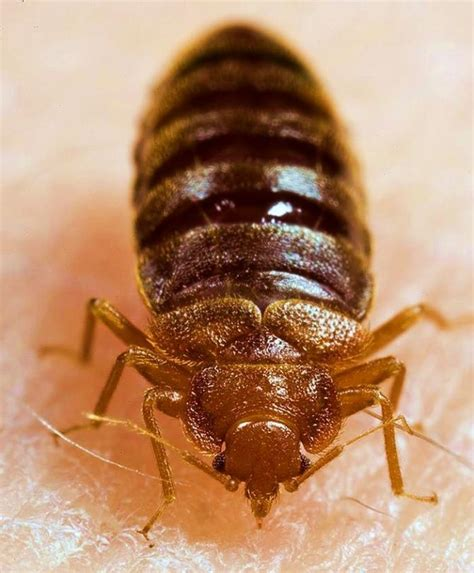 what diseases do bed bugs carry what diseases do bed bugs carry 28 images researchers
