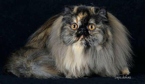 allevamento gatti persiani roma chi siamo annarita persians allevamento gatti persiani