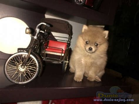Anjing Minipom Stambum dunia anjing jual anjing pomeranian minipom muka