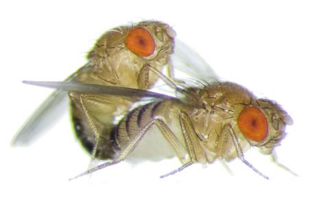 What Causes Fruit Flies Frisky Female Fruit Flies Become More Aggressive Towards
