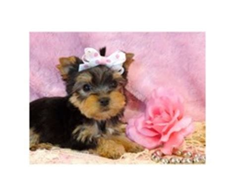 yorkie puppies for sale in alexandria la specie teacup yorkie puppy their age 13 weeks available animals