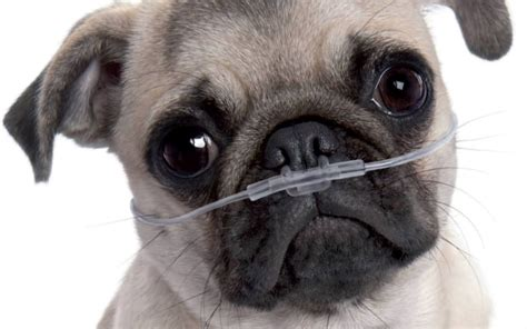 pug respiratory problems pugs and bulldogs why do we think it s normal to them choke