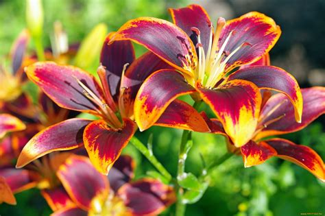 images flowers lilies flowers photo 35832075 fanpop page 6