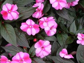 new guinea impatiens colors impatiens new guinea bicolor plant a shoot and let it grow